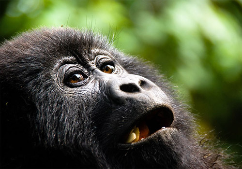5 Days Gorilla and Chimpanzee trekking