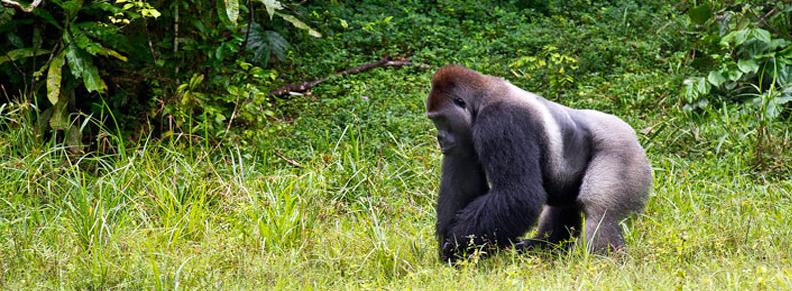 Congo tours, Congo Safaris