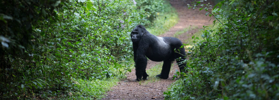 Habituated gorilla families in rwanda