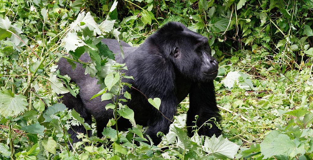 Rushaga Gorilla trekking