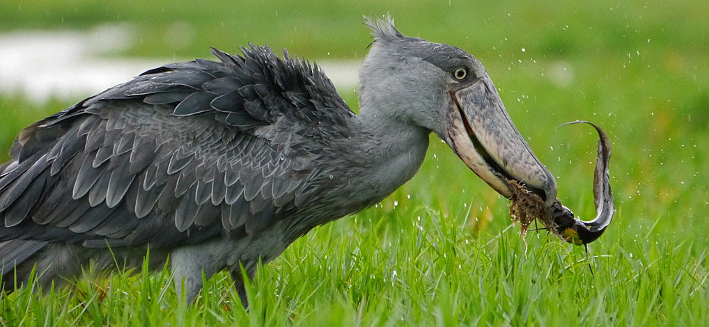 shoebill stork african shoebill stork shoebill size and