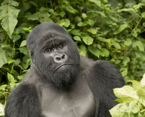 When is The Best Time of the Year for Gorilla Trekking?