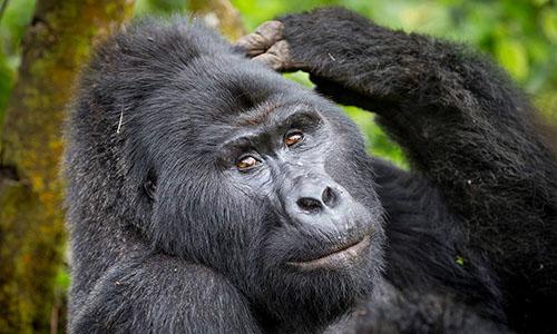 Nkuringo Gorilla Trekking